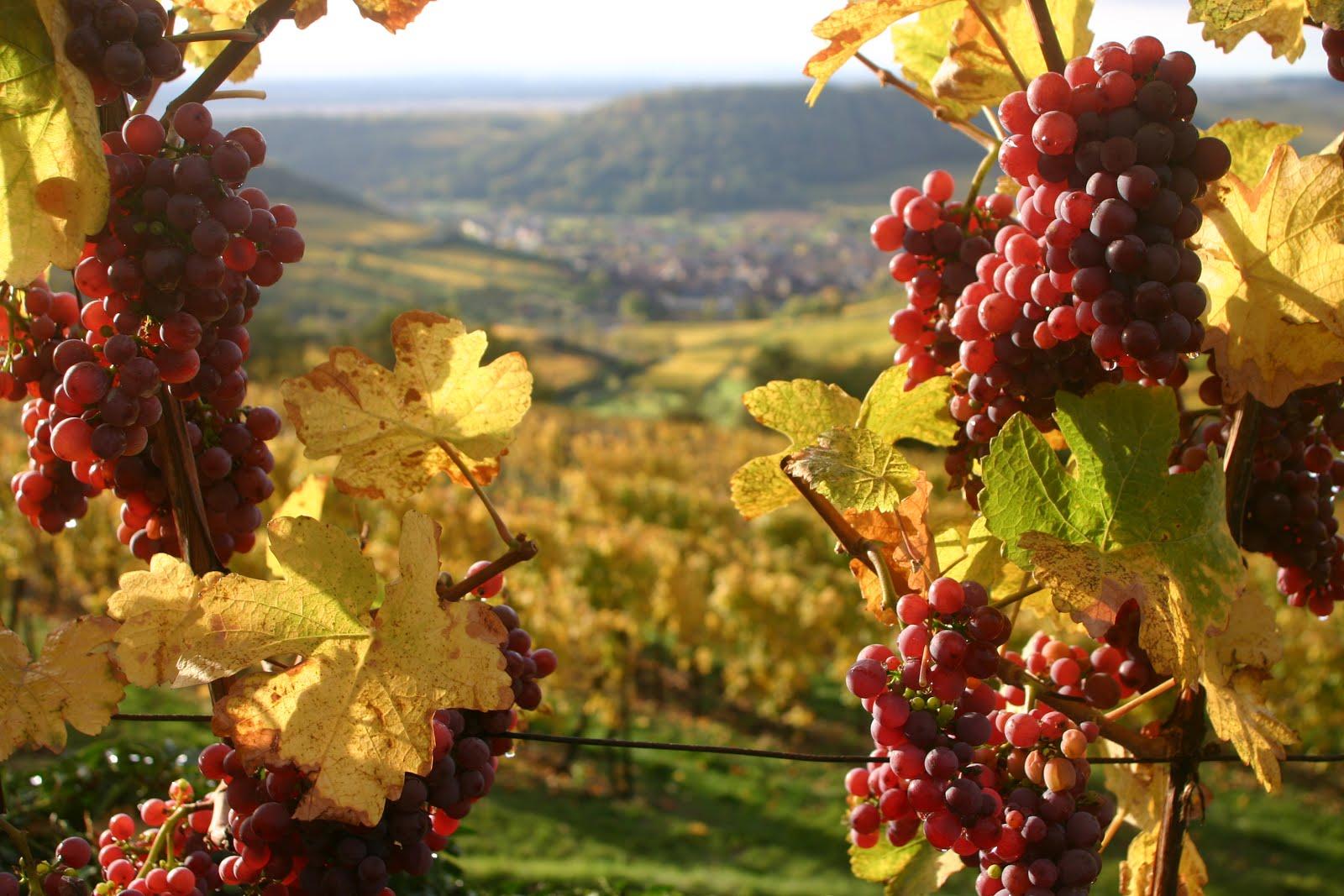 Вино виноделие
