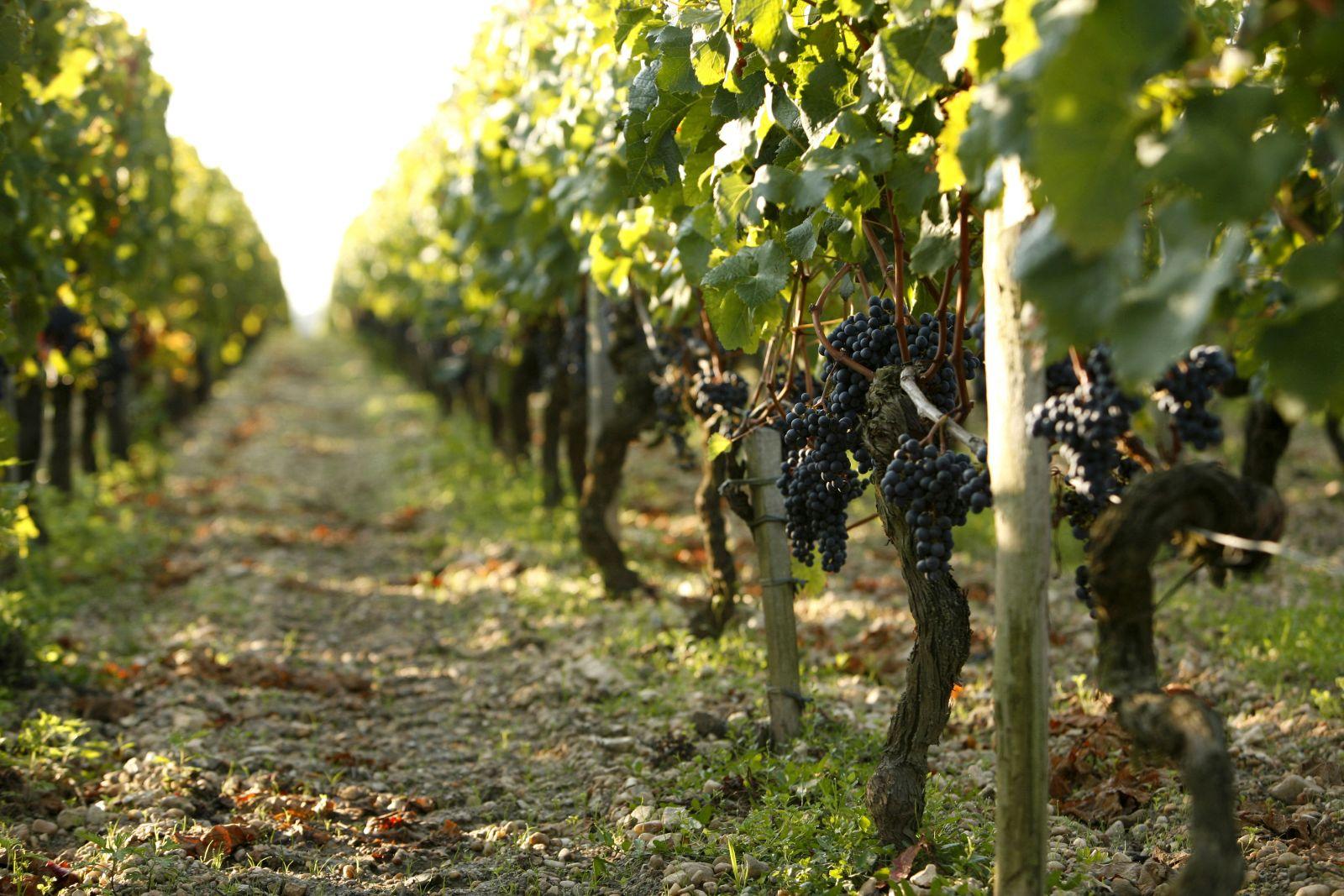 Виноградники, Долина Луары