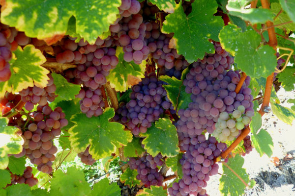 Красный сорт винограда