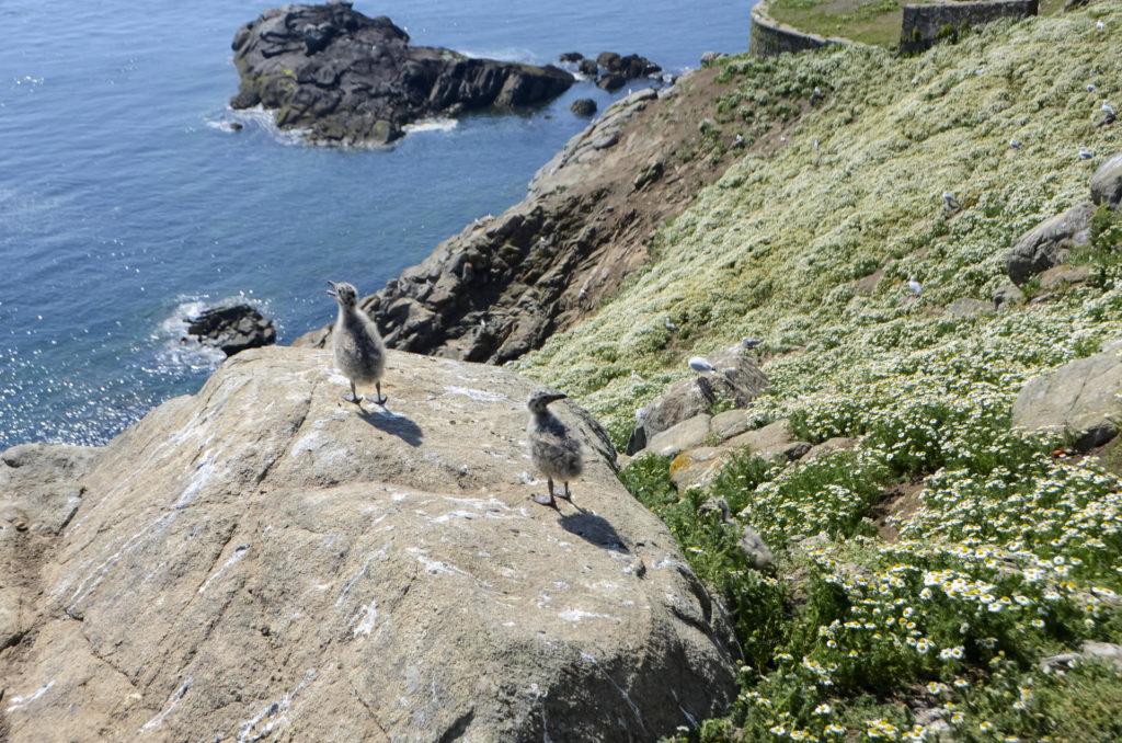 Чайки на архипелаге Сет-Иль