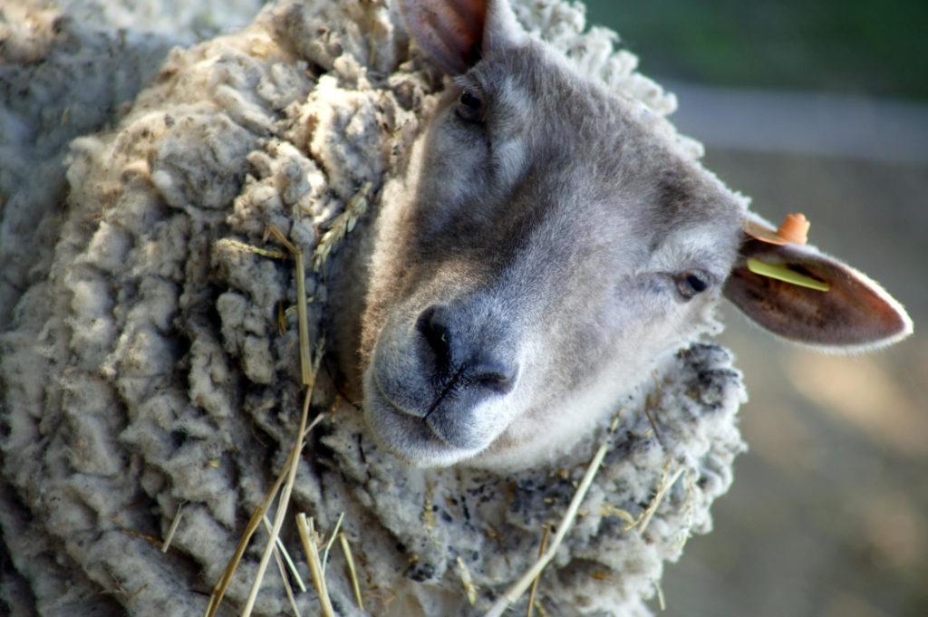 Уэссан овцы