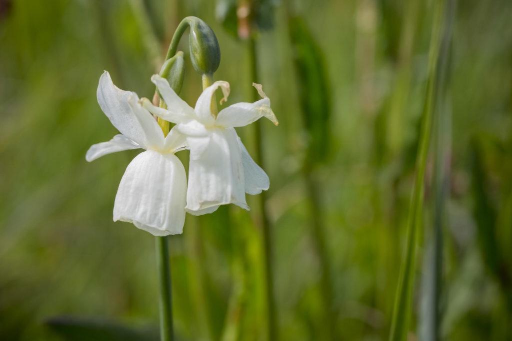 Нарцисс Гленан цветок